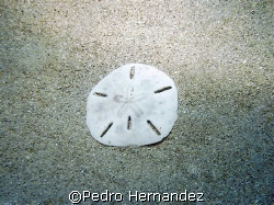 Key Hole Sea Urchin,Palmas Del Mar Humacao,Puerto Rico by Pedro Hernandez