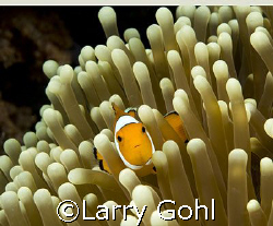 Anemone Fish in Wakatobi by Larry Gohl