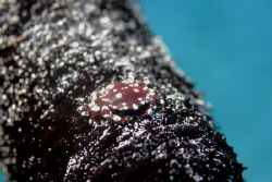 What is of crab is this? It lives on sea cucumber as show... by Ting Tsui