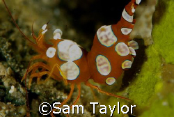 Cleaner shrimp. 105mm by Sam Taylor