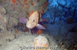 Red Hind Grouper,Palmas Del Mar Humacao, Puerto Rico by Pedro Hernandez