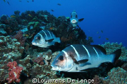 Sweetlips by Louwrens De Lange