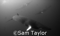 Rush hour for Minke Whales. Lighthouse Bommie, GBR. Nikon... by Sam Taylor