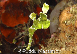 ghost pipe in cebu,nikon d70 60mm macro by Puddu Massimo