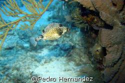 Smooth TrunkFish,Palmas Del Mar , Puerto Rico.Camera DC300 by Pedro Hernandez