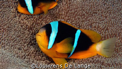 Amphiprion allardi by Louwrens De Lange