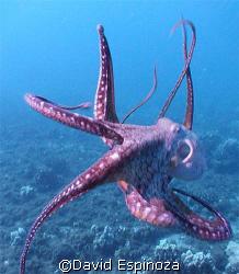 Taco (octopus), Airport Beach, Maui, Hi, Light & Motion T... by David Espinoza