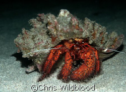 Hermit, Indonesia 2005 by Chris Wildblood