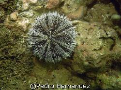 West Indian Sea Egg,Palmas Del Mar Humacao, Puerto Rico,C... by Pedro Hernandez