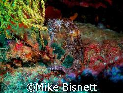 Galapagos Seahorse by Mike Bisnett
