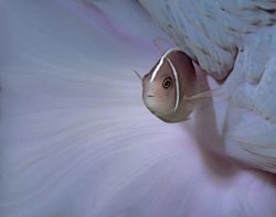 Manado, Indonesia, 105mm lens and two flashguns. Pink Ane... by Len Deeley