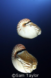 Nautilus Pompilus.....20mm lens twin strobes. by Sam Taylor