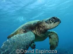 Turtle, Maui HI,  Light & Motion Tetra Housing C3040z Oly... by David Espinoza