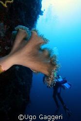 Divers eaten by coral! From Calanggaman island (near Mala... by Ugo Gaggeri