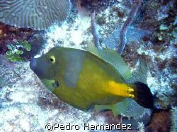 Whitespotted Filefish,Parguera, Puerto Rico.Camera DC310 by Pedro Hernandez