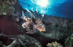 lionfish taken on Tile Wreck in Sha ab abu Nuhas in the R... by Len Deeley