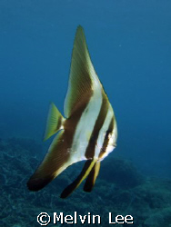 Juvenile Batfish by Melvin Lee