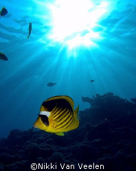 Striped butterflyfish and sunburst taken at Sharksbay wit... by Nikki Van Veelen