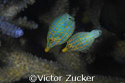pretty pair by Victor Zucker