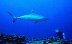 Silvertip Shark; Manus Island, PNG; Housed Nikon F, 24mm ... by Rick Tegeler