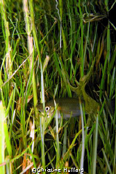 Fish in (lawn) grass in pond.  Big Island, HI.   by Christine Huffard