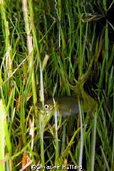 Fish in (lawn) grass in pond.  Big Island, HI.   by Christine Huffard