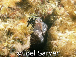 Salt and Pepper Eel