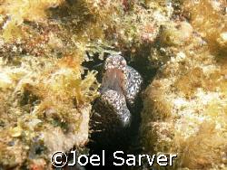 Salt and Pepper Eel Pompano Beach, FL  by Joel Sarver