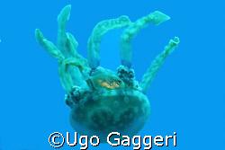 Jellyfish from Gato Island (Malapascua). by Ugo Gaggeri