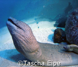 Moray eel by Tascha Eipe
