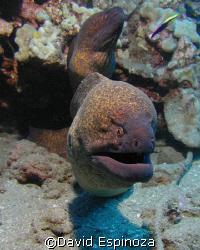 Close-up moray eels, Maui HI by David Espinoza