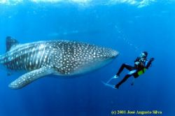 Whaleshark, Cape Vert Isl., housed F90x,fish-eye lens by José Augusto Silva