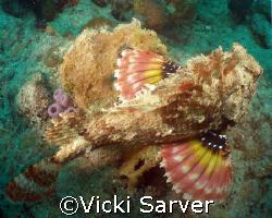 Scorpian Fish-Pompano Beach, Florida by Vicki Sarver