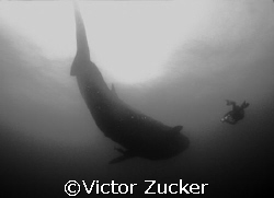 filming mr. big at darwin in galapagos by Victor Zucker