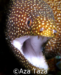 White Mouth Moray Eel. shot in Puerto Galera. C5060. by Aza Taza