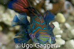 "Mandarin fishes ""dance"". Lighthouse dive spot in Malapascua. by Ugo Gaggeri"