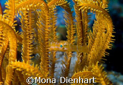 This tiny trumpet fish found the perfect coloured crinoid... by Mona Dienhart