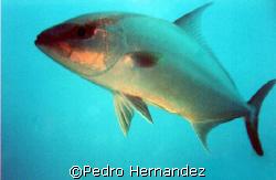 Almaco Jack,Palmas Del Mar Humacao, Puerto Rico,Camera DC200 by Pedro Hernandez