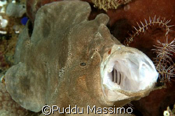 frog fish,gangaa island north sulawesi,nikon d70 60mm macro by Puddu Massimo