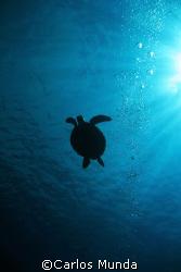 Sea turtle silhouette, canon 350D. by Carlos Munda