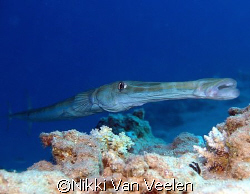 Trumpetfish taken at Sharksbay with E300. by Nikki Van Veelen
