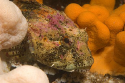 Very brightly coloured Scorpionfish, surrounded by soft c... by Mike Clark