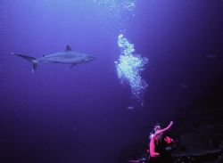 Always look over your shoulder!  Silvertip Shark; Manus, ... by Rick Tegeler