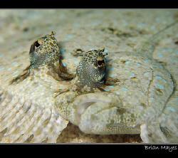Peacock Flounder from Bonaire, Canon G7 + Inon macro lens by Brian Mayes