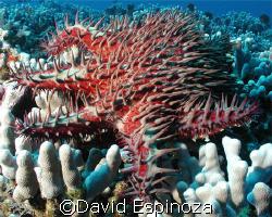 Crown of Thorn Starfish, Lanai Hi, Olympus C-3040Z, Light... by David Espinoza