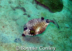 Trunkfish seen in Tobago on June 2007.  Taken with a Cano... by Bonnie Conley