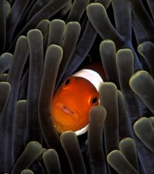 False anemonefish in anemone tentacles. Manado. Nikon F90... by Len Deeley