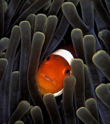 False anemonefish in anemone tentacles. Manado. Nikon F90... by Len Deeley