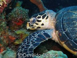 Turtle,  at Estatia Olympus SP 350 by Osvaldo Deleon