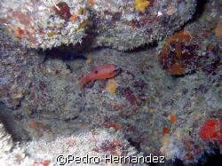 Flamefish,Humacao, PuertoRico.Camera DC310 by Pedro Hernandez